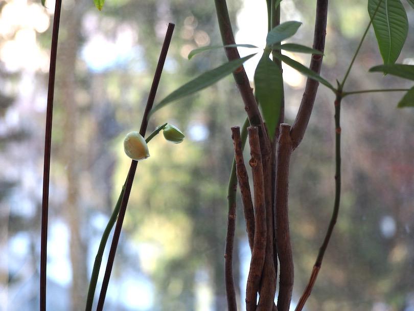 Elämäni orkideoiden kanssa jatkuu